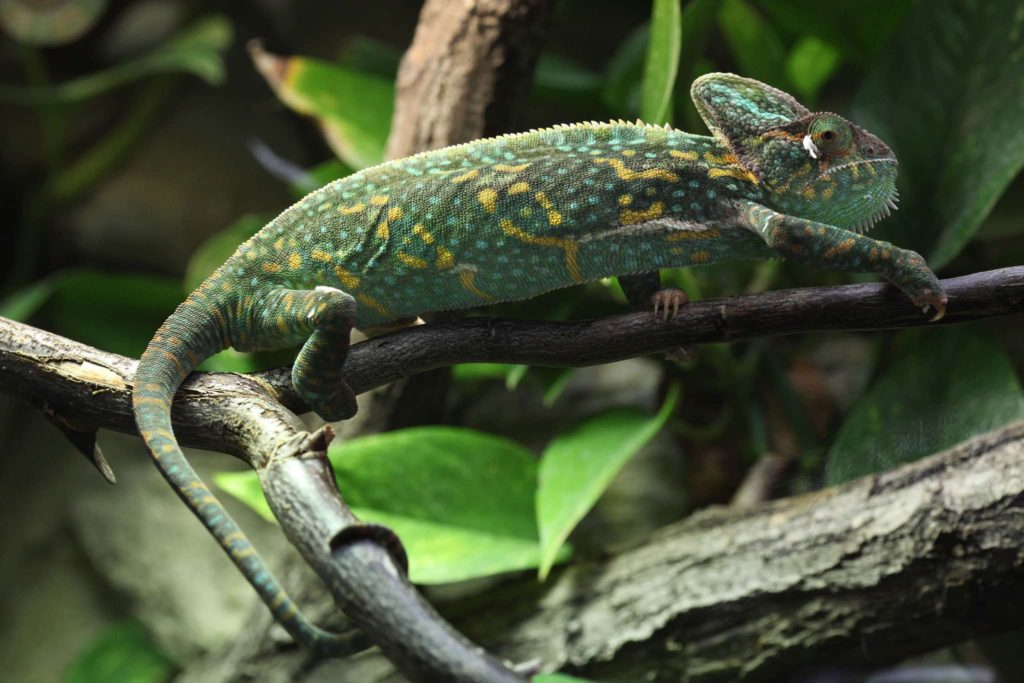 exotic_lizards_veiled_chameleon